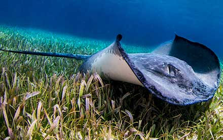 Marine Other 01 - A southern stingray in the shallow waters of San Pedro, Belize