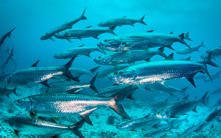 Marine Other 02 - A group of Atlantic tarpon at Xcalak, Mexico