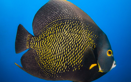 Marine Other 05 - French angelfish in Akumal, Mexico