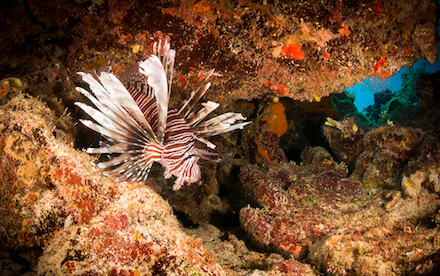 Marine Other 06 - A lionfish in the reefs of Akumal, Mexico